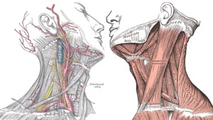 neck_anatomy
